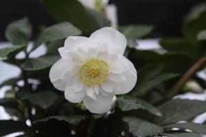 Hellebore_snow_frills